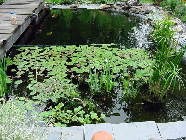 Blase pond for Koi pond hydroponics