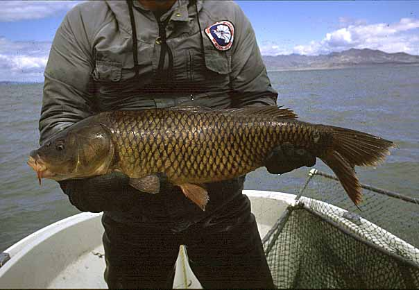 common carp. The common carp is the